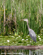 Great Blue Heron in Wetland