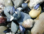 Mussel and Clam