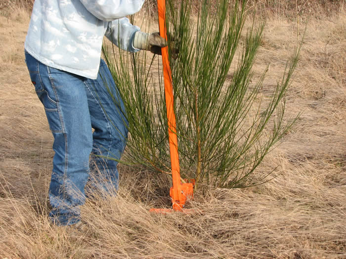 Weed Wrench Being Used to Remove Scotch Broom